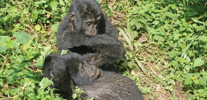 Prime primate viewing three East Africa lodges