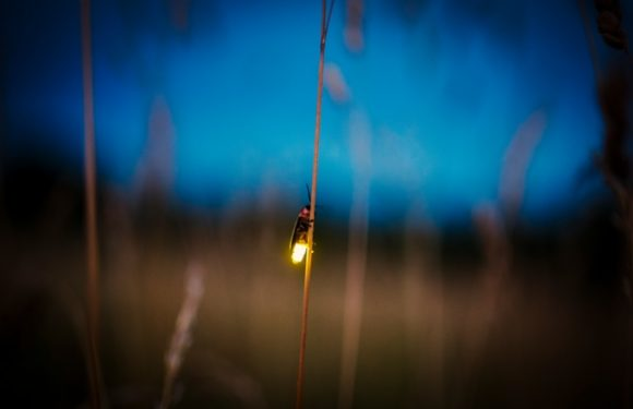 See Synchronous Fireflies Across the U.S. in May