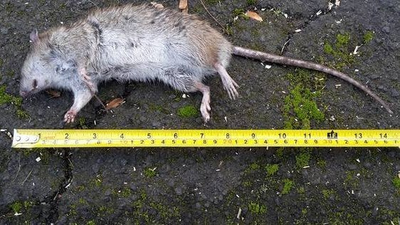Locals say the rats are moving around the town in gangs
