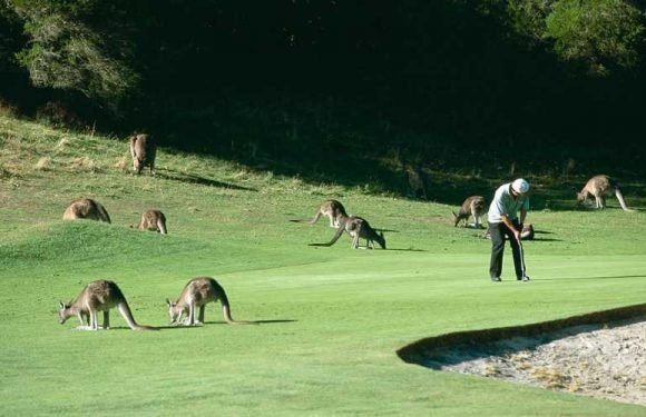 You Can Golf With 300 Kangaroos at This Golf Course in Australia