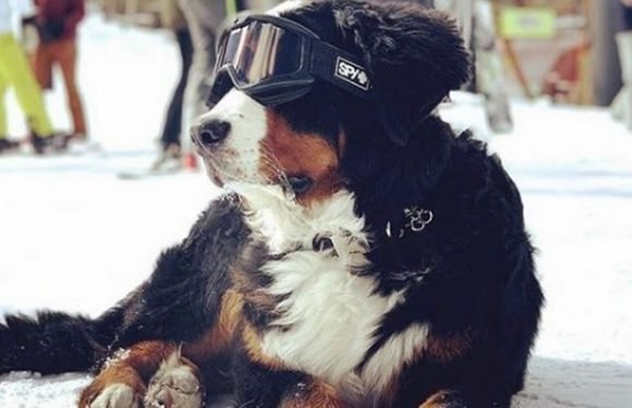 Bernese Mountain Dog runs the show at ski hotel and even tucks you in at night