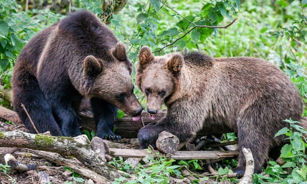 Bears and wolves to coexist in UK woods for first time in 1,000 years