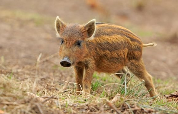 We're going on a boar hunt: into the Forest of Dean