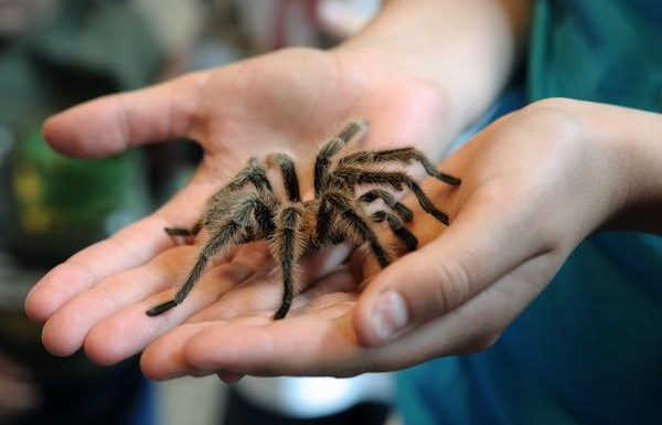 Man Arrested Attempting to Smuggle Dozens of Tarantulas in His Luggage
