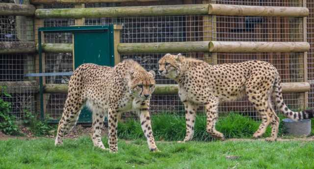 World First Cheetah Brothers relocated from UK to SA ·