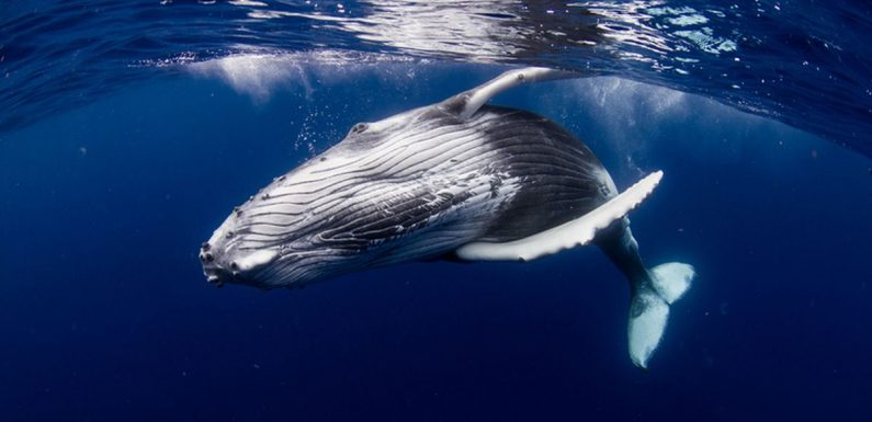 You can book epic trip to swim with whales under the 'midnight sun' in Iceland