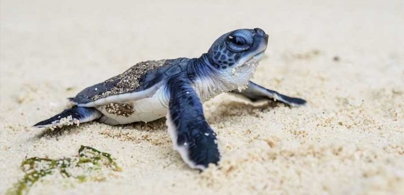 Scientists Inspired by Crime Shows Use Fake Sea Turtle Eggs to Spy on Poachers