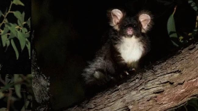 New marsupial glider species discovered in Australian eucalypt forest