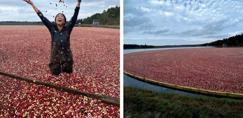What I Learned From Wading in an Ocean Spray Cranberry Bog