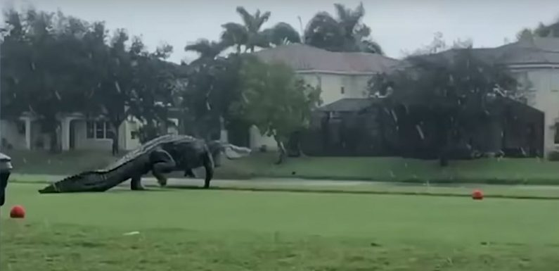 Watch This Beyond-enormous Alligator Take a Stroll on a Florida Golf Course