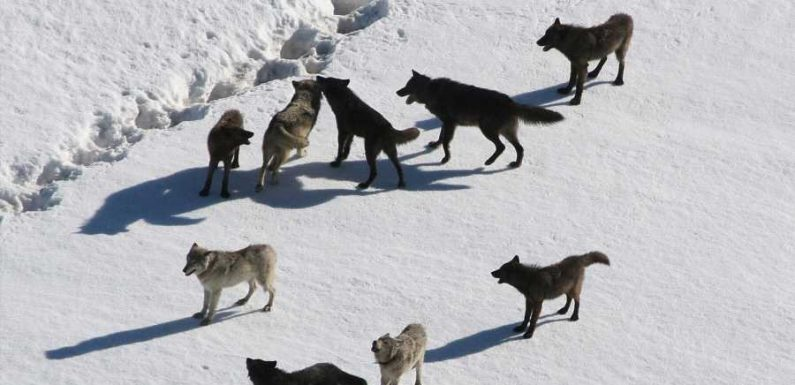 There's never been a better time to go wolf watching in Yellowstone