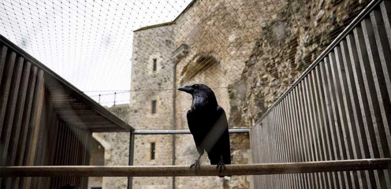 Superstitious Brits Are Worried About a Raven Disappearing From the Tower of London — Here's Why