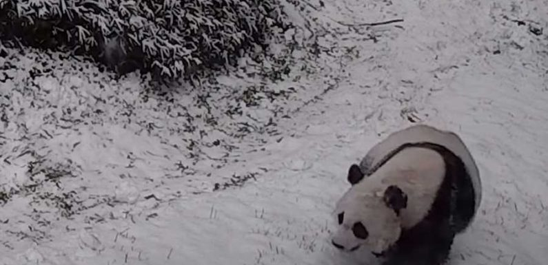The National Zoo Pandas Had the Most Fun During This Week's Snow Storms