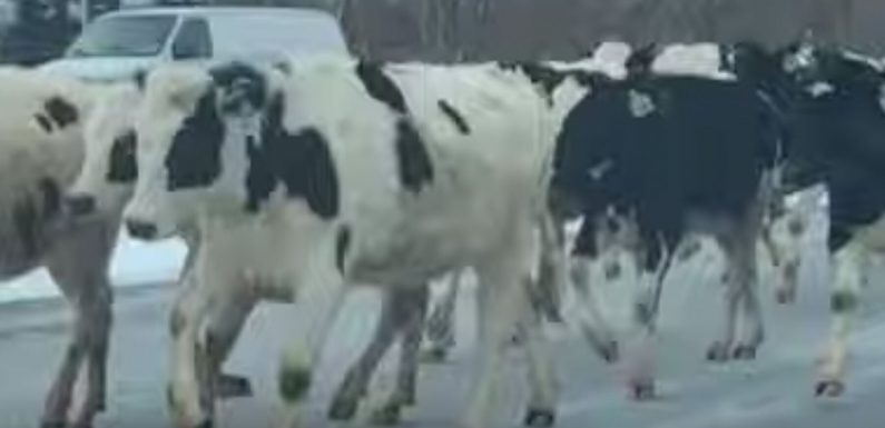 Indiana Cows Escape Farm, Run down Highway in Hilarious Video