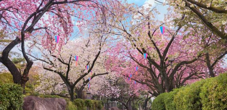 Japan's Cherry Blossoms Are Expected to Bloom Earlier Than Usual This Year