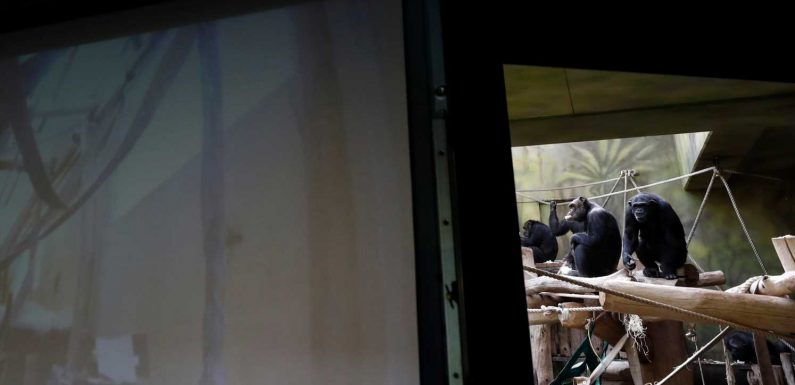 Monkey see, monkey Zoom: Czech zoo offers its chimps video playdates with other primates