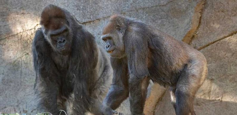 Gorillas at San Diego Zoo Receive First Experimental COVID-19 Vaccine for Animals