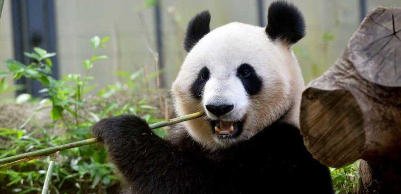 Tokyo's Ueno Zoo Welcomes Twin Panda Cubs