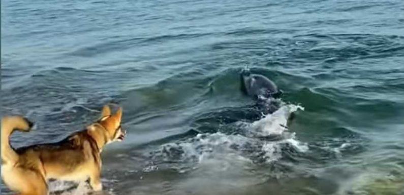 Watch This Playful Dog Encounter a Friendly Pod of Dolphins at the Beach