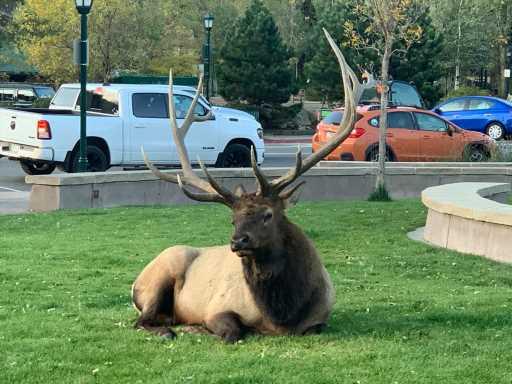 Elk bugling in Estes Park, Rocky Mountain National Park